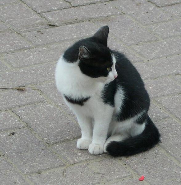 Villiintynyt Kissa
